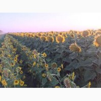 Продам семена подсолнечника гибриды Ясон, Оскил, Форвард, Златсон (УКР)