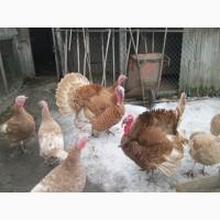Продам інкубаційні яйця курей лівенська та легорн індиків кавказька бронзова