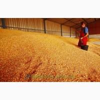 Зерно Кукурудзи Пшениці