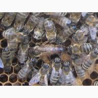 Продам бджоломатки укр.степ
