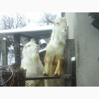 Козлы пород Ламанча и Зааненская для вьязки ( покрытия ваших коз )