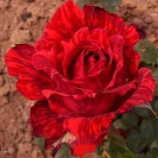 Продам саджанцы роз