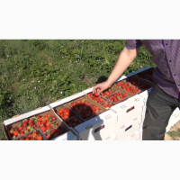 Продам Клубнику цена 19 грн опт Альбион 15 тонн