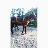 Коні ваговози