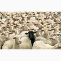 Куплю баранину, оптом, живой вес, ягнята, отару, овці, стадо