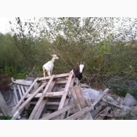 Продам чешські кози