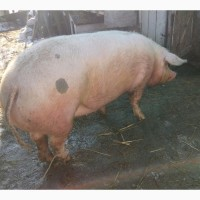 Продам свиню мясної породи Петрена