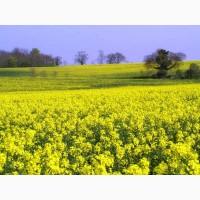 РАУДІС РС насіння ярого ріпаку (олійний) 2018 року виробництва