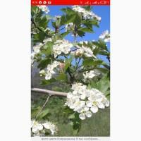 Закупаем лист одуванчика и корень, зверобой, цвет липы, бузины, боярышника