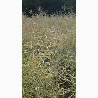 Семена рапса 44D06, PX113*, PX125CL*, PT200CL (Пионер(Corteva)