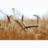 Семена ржи (жито) озимой Стоир