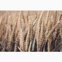 Семена озимой пшеницы ВАТАЖОК