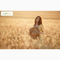 Озимая пшеница Шестопаловка, семена (1-я репродукция ) урожай 2020 г