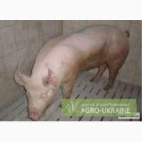 Кнур, свинья продам