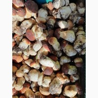 Продам свіжий білий гриб