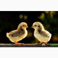 Продам курчат мясояєчних порід