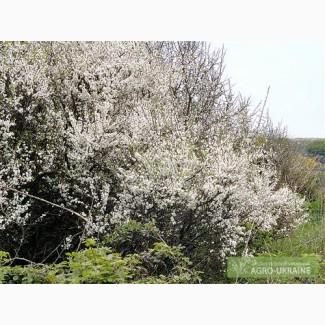 Живые изгороди.Саженцы сосны, берёзы, дуба, клена, граба, ясеня, липы, черёмухи, барбариса