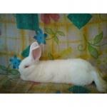 Продам племенного кролика