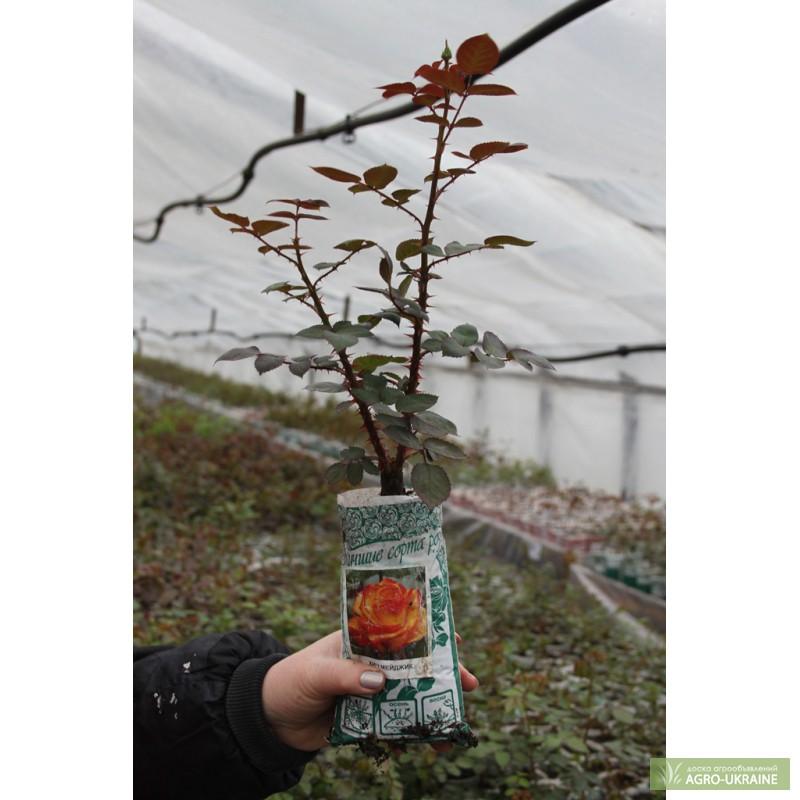 Сажени розы купить украине оптом цветы из бумаги для букета невесты