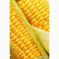Продам семена кукурузы МЕЛ 272 МВ