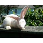 Продам кроликов Фландер и Белый Великан
