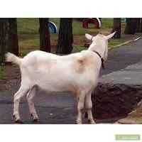 Продам чистопородного козла на племя