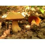 Мицелий грибов: дубовик, чесночник, рядовка, говорушка, дождевик, веселка, волнушка