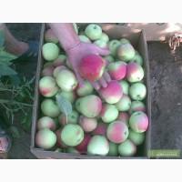 КРЫМСКИЕ ЯБЛОКИ, Яблоки с холодильника, оптом