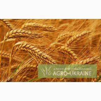 Продам Пшеницу фуражную Сумская область, Конотоп — Agro-Ukraine fca21d2fe45