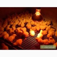Суточные цыплята бройлеры КООБ 500