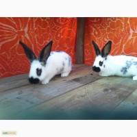 Продам кроликов бабочка строкач