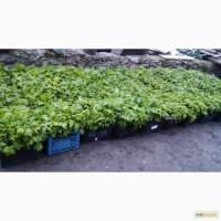 Продам качественную рассаду малины ремонтантных новых сортов