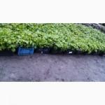 Продам от производителя качественную рассаду малины ремонтантных сортов ПОЛКА