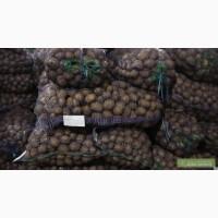 Насіннєва картопля-Семеной картофель відсилка по Україні