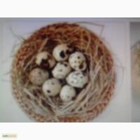 Продам яйцо перепелиное инкубационное