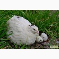 Перепелиные яйца инкубационные. Перепела подрощенные