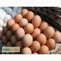 Инкубационные яйца Мастер-Грей, Испанка