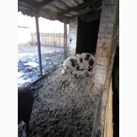 Продам свиней мангалицы живым весом