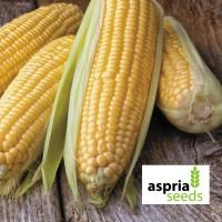 Семена гибрида кукурузы АС 33033-раннеспелый ФАО 230 исключительная влагоотдача