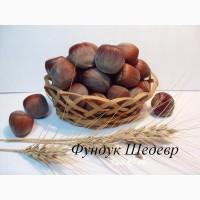 Саженцы фундука и грецкого ореха