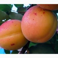 Пропонуєм саджанці абрикоса Серена. В роздріб та оптом. Ціна договірна