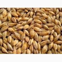Семена ярового пивоваренного ячменя Себастьян 12, 5 тн