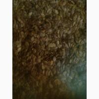 Продам голонасінну сємочку, штирійський гарбуз