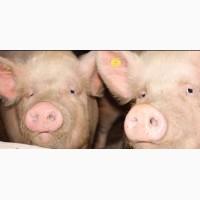 Продам свиней мясные 20 голов