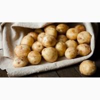 Куплю молодой картофель оптом от производителей