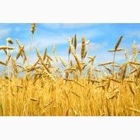 Купим пшеницу крупным ОПТОМ