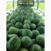 С начала июля начинаем продажи арбуза крупным оптом. Возможен экспорт