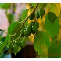 Продам плоды актинидии - наше киви
