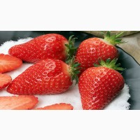 Полуниця Альба(Alba Strawberry) саджанці полуниці Фріго