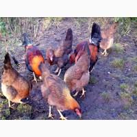 Инкубационное яйцо кур Вельзумер, цыплята по договоренности